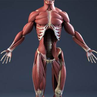 33.сухожилия
